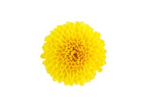 白背景の食用菊のクローズアップの写真素材 [FYI04852912]
