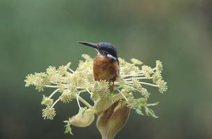 エゾニュウの花とカワセミ(北海道・音更町)の写真素材 [FYI04852935]