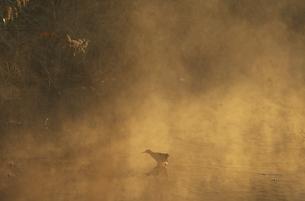 川霧とクイナ(鹿児島県・出水市)の写真素材 [FYI04852936]