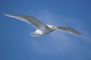 シロカモメの飛翔(北海道・知床)の写真素材 [FYI04852943]