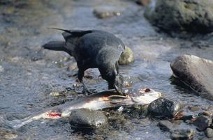 サケを食べるハシブトガラス(北海道・知床)の写真素材 [FYI04852946]