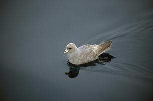 海面を泳ぐフルマカモメ(北海道・知床)の写真素材 [FYI04852947]