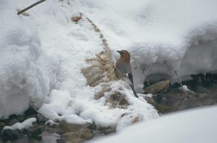 エゾシカの死体を食べるミヤマカケス(北海道・鹿追町)の写真素材 [FYI04852949]