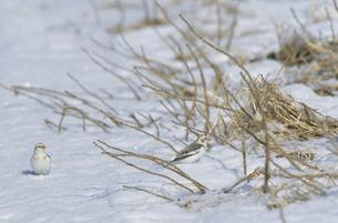 雪上のユキホオジロ(北海道・野付半島)の写真素材 [FYI04852952]