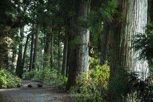 箱根旧街道沿いの杉並木の写真素材 [FYI04853150]