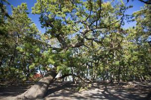 三保の松原の松林の写真素材 [FYI04853161]