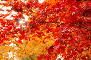 修善寺自然公園の紅葉イメージの写真素材 [FYI04853170]