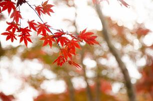 修善寺自然公園の紅葉イメージの写真素材 [FYI04853179]