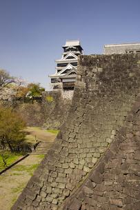 熊本城の石垣武者返しと桜の写真素材 [FYI04853316]