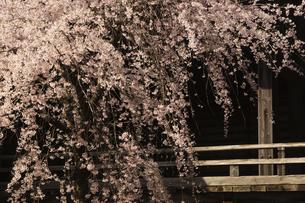 本妙寺大本堂のしだれ桜の写真素材 [FYI04853320]