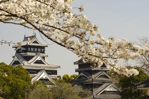 桜と熊本城の写真素材 [FYI04853324]