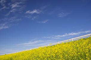 河川敷に咲く菜の花の写真素材 [FYI04853341]