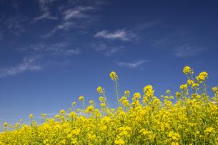 河川敷に咲く菜の花の写真素材 [FYI04853343]