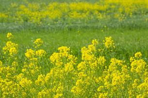 河川敷に咲く菜の花の写真素材 [FYI04853344]