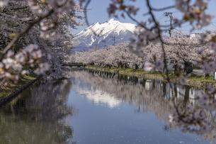 岩木山と桜の写真素材 [FYI04853450]