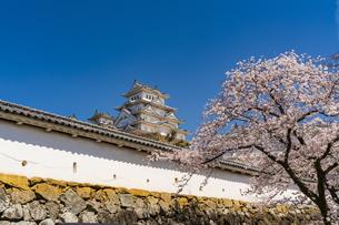 桜と姫路城の写真素材 [FYI04853507]