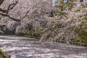 弘前公園の桜の写真素材 [FYI04853530]
