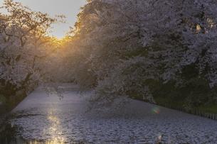 弘前公園の桜 夕暮れの写真素材 [FYI04853531]