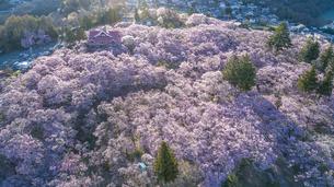 錦帯橋と桜 ドローン空撮の写真素材 [FYI04853535]
