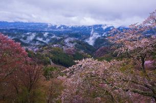 吉野山の桜と雲海の写真素材 [FYI04853546]