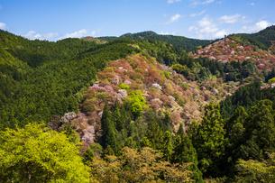 吉野山の桜の写真素材 [FYI04853547]