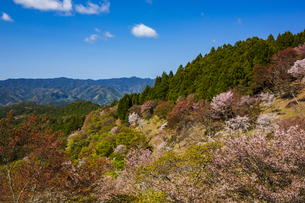 吉野山の桜の写真素材 [FYI04853551]