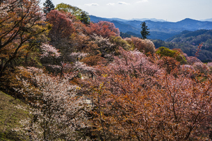 吉野山の桜の写真素材 [FYI04853559]