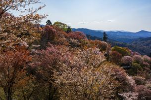 吉野山の桜の写真素材 [FYI04853563]