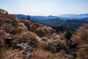 吉野山の桜の写真素材 [FYI04853566]