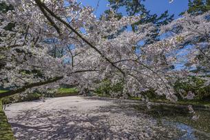 弘前公園の桜の写真素材 [FYI04853586]