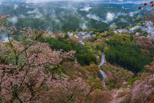 吉野山の桜と雲海の写真素材 [FYI04853588]