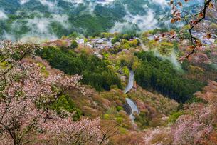 吉野山の桜と雲海の写真素材 [FYI04853594]