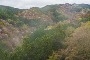 吉野山の桜の写真素材 [FYI04853596]