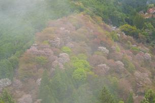 吉野山の桜の写真素材 [FYI04853603]