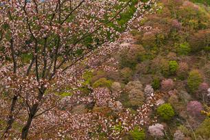 吉野山の桜の写真素材 [FYI04853606]