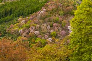 吉野山の桜の写真素材 [FYI04853609]