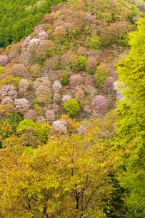 吉野山の桜の写真素材 [FYI04853611]