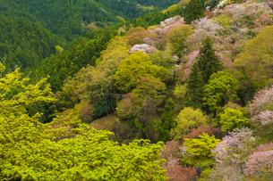 吉野山の桜の写真素材 [FYI04853613]