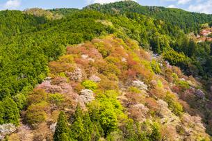 吉野山の桜の写真素材 [FYI04853616]