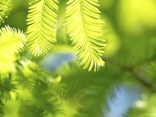 新緑のメタセコイヤの葉の写真素材 [FYI04853731]