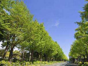 山下公園通りの銀杏並木 神奈川県横浜市の写真素材 [FYI04853807]