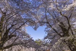 弘前公園のハート桜の写真素材 [FYI04853881]