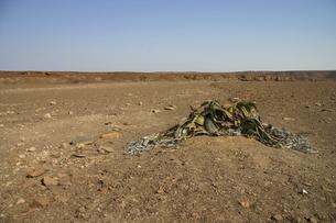 ナミビアの大地に自生するウェルウィッチアの写真素材 [FYI04853886]