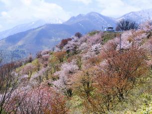 清水町の桜の写真素材 [FYI04853937]