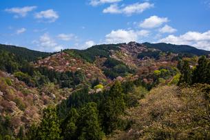 吉野山の桜の写真素材 [FYI04853957]