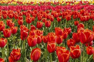 チューリップの花畑の写真素材 [FYI04853961]