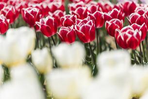 チューリップの花畑の写真素材 [FYI04853964]