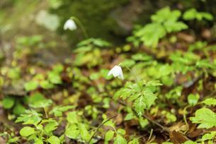 男池園地の白い花の写真素材 [FYI04853965]