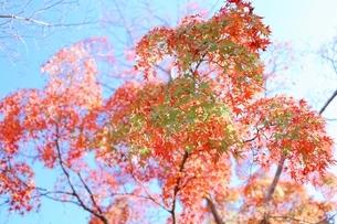 秋に染まり行く青紅葉の写真素材 [FYI04853986]