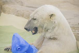 円山動物園のシロクマの写真素材 [FYI04854010]